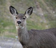 Mule deer close-up. A close-up of a mule deer chewing grass Royalty Free Stock Photography