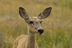 Mule Deer Closeup Royalty Free Stock Photo