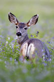 Mule Deer in Clover field Royalty Free Stock Photos