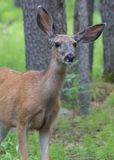 Mule Deer with Cockeyed Ears. Alert in summer forest Stock Photo