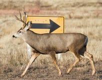 Mule Deer in Colorado. Mule deer in the rugged Colorado back country Stock Photos