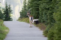 Mule deer on countryside road. Rear view of mule deer buck on road through forest, Mount Rainier National Park, Washington state, U.S.A royalty free stock image