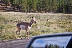 Mule deer crossing a road, Bryce canyon, Utah Royalty Free Stock Image