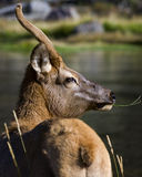 Mule Deer Dining on Grass. Mule deer foraging for grass along the banks of the Firehole River in Yellowstone National Park Royalty Free Stock Image