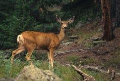 Mule Deer Doe Royalty Free Stock Image