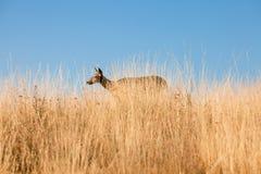 Mule Deer Doe. In walking through prairie grass Royalty Free Stock Image