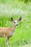 Mule deer doe stock photo
