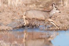 Mule deer doe crossing stream stock image