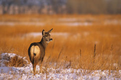 Mule Deer Doe in CRP Field Stock Photos