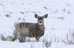 Mule deer doe in deep snow during winter in Grand Teton National Stock Photo