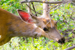 Mule Deer Doe Eating Royalty Free Stock Photos