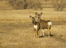 Mule Deer Doe and Fawn Stock Image