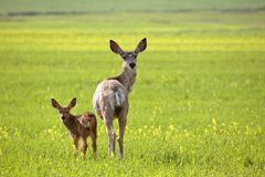 Mule Deer doe and fawn Stock Images
