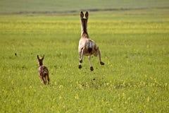 Mule Deer doe and fawn. Bounding through Saskatchewan field Canada Stock Images