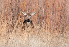 Mule deer doe in a field Stock Photography
