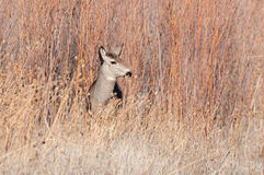 Mule deer doe in a field Royalty Free Stock Photography