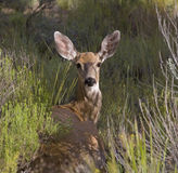 Mule deer doe in field Royalty Free Stock Photography
