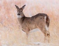 Mule Deer Doe In a Field of Snow Royalty Free Stock Images