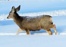 Doe Mule Deer Sauntering Through Midwinters Snow. Mule deer doe with heavy fur coat casually walking through the blue hues of winter snow royalty free stock images