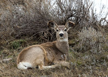 Mule Deer Doe Stock Image