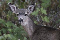Mule Deer stock images