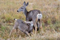 Mule Deer Doe Nursting Two Fawns. Two Mule Deer Fawns Nursing a Mule Deer Doe royalty free stock images