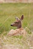 Mule Deer. Doe, Odocoileus hemionus, in the Malheur National Wildlife Refuge between Burns and Frenchglen Oregon Royalty Free Stock Images