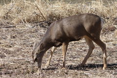 Mule deer doe Royalty Free Stock Photography