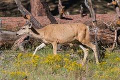Mule Deer Doe Royalty Free Stock Photo