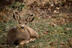 Mule deer doe resting in grass Royalty Free Stock Images