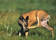 Mule Deer Doe Scratching Royalty Free Stock Image