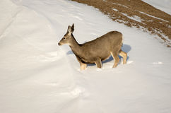 Mule Deer Doe in the Snow in Badlands National Park Royalty Free Stock Images
