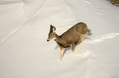 Mule Deer Doe in the Snow in Badlands National Park Royalty Free Stock Photography