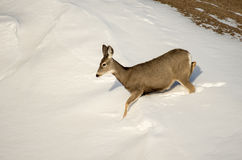 Mule Deer Doe in the Snow in Badlands National Park Stock Images