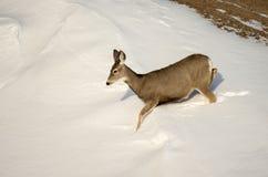 Mule Deer Doe in the Snow in Badlands National Park Stock Images