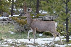 Mule Deer Doe in Springtime, Colorado Rocky Mountains royalty free stock photo