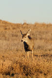 Mule Deer Doe Stock Photography