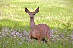 Mule Deer Doe Stock Image