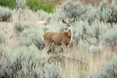 Mule Deer. Royalty Free Stock Image
