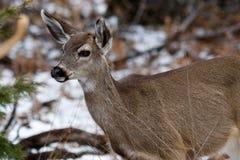 Mule Deer doe in Yosemite Valley. stock images