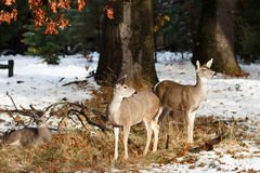 Mule deer does and fawn in the snow Royalty Free Stock Images