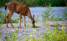 Mule deer eating grass Stock Images