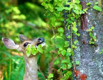 Mule deer eating leaves Stock Photography