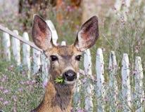 Mule Deer Eating Weeds. In a flowery summer garden royalty free stock photo