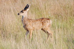 Mule Deer Fawn Royalty Free Stock Photos