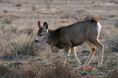 Mule deer fawn Royalty Free Stock Image