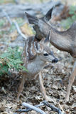 Mule deer fawn Stock Photos