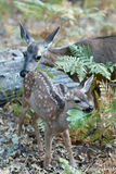 Mule deer fawn chews on a large green leaf Stock Image