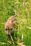 Mule deer fawn in grass. Stock Images