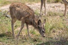 Mule Deer Fawn Grazing Stock Photos